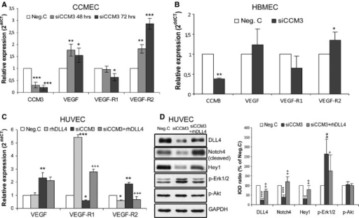 Silencing CCM3 affected multiple signalling components in cultured endothelial cells, which was reversed by rhDLL4. (A) The expression of VEGF, VEGF-R1 and VEGF-R2 after siCCM3 transfection in CCMEC. CCMECs were transfected with either 70 nM of specific CCM3 siRNA (siCCM3) or control siRNA (Neg. C). Total RNA was extracted at 48 and 72 hrs after the transfection for RT2-PCR. CCM3 was detected for controlling an efficient silence induced by siRNA transfection. (B) The expression of VEGF, VEGF-R1 and VEGF-R2 after siCCM3 transfection in HBMEC. HBMEC received the transfection with either 70 nM of siCCM3 or Neg. C. Total RNA was extracted 72 hrs after the transfection for RT2-PCR. CCM3 was detected for controlling an efficient silence induced by siRNA transfection. (C) The treatment of rhDLL4 reversed the down-regulation of VEGF-R1 and the up-regulation of VEGF-R2, but did not influenced the expression of VEGF, in CCM3-silenced HUVEC. Cells were transfected with either 70 nM of specific CCM3 siRNA (siCCM3) or control siRNA (Neg. C) in the presence or the absence of rhDLL4 (1 μg/ml). Total RNA was extracted 72 hrs after the transfection for RT2-PCR. (D) The treatment with rhDLL4 restored DLL4 protein expression, elevated the levels of cleaved Notch4 and target protein Hey1, and reversed increase in p-Erk1/2 expression mediated by silencing CCM3. Total protein was extracted 72 hrs after the transfection in the presence or the absence of rhDLL4 (1 μg/ml). The data presented in A–D were representative of at least three independent experiments. *P < 0.05, **P < 0.001 and ***P < 0.001, compared with Neg. C; +P < 0.05, ++P < 0.01 and +++P < 0.001, compared with siCCM3 alone.