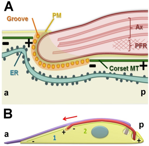 A diagrammatic representation summarizing our interpretation of groove ultrastructure and subpellicular microtubule remodeling. (A) Longitudinal view showing the distal tip of the new flagellum embedded in a groove. Orientation is as indicated (a, anterior and p, posterior). Microtubules terminate with their plus ends anterior to the groove (+). The plasma membrane (PM), axoneme (Ax) and paraflagellar rod (PFR) are shown. (B) Diagram representing a hypothetical remodeling of microtubules around the groove through disassembly (deploymerization or severing) of the plus ends of microtubules located anterior to the tip of the new flagellum (1). The new flagellum is elongating in the direction of the red arrow. Assembly and growth of microtubules posterior to the groove might occur at the minus end immediately posterior to the groove or at the plus end, which is at the posterior end of the cell (2).