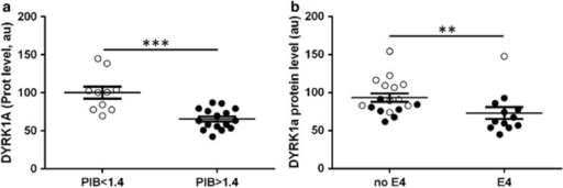 DYRK1A protein levels stratified (a) according to PIB values with PIB<1.4 and PIB>1.4; and (b) according to APOE genotype with 'no ApoE4' for APOE2 or APOE3 genotypes and 'ApoE4' for one or two APOE4 alleles. White dots: controls; black dots: Alzheimer's disease patients. Graph bars indicate mean±s.e.m; ***P<0.001; **P<0.01; a.u., arbitrary unit; PIB, Pittsburgh compound B.