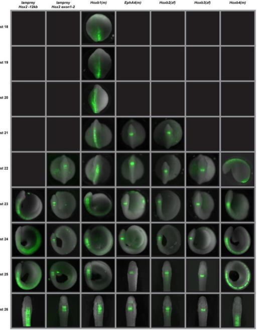 Developmental time-course of GFP reporter expression mediated by lamprey and gnathostome regulatory elements in lamprey embryosStages 18 to 26 are shown. All embryos are positioned such that the hindbrain is viewed dorsally, with anterior to the top, except for Hoxb4(m) at stage 22, which is viewed laterally with anterior to the left. Black boxes indicate no GFP expression mediated by that element at that developmental stage. In both fish and lamprey, expression driven by the gnathostome Hoxb1 enhancers appear to be temporally dynamic, starting broad and refining with time, likely caused by autoregulation within this element. However, we cannot rule out the possibility that the enhancers used may be missing some repressor elements that are required for fine-tuning.