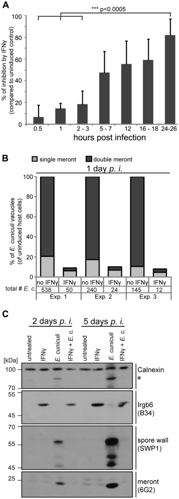 IFNγ restricts E. cuniculi growth in mouse embryonic fibroblasts.(A) Mouse embryonic fibroblasts (MEFs) from C57BL/6 mice were induced with IFNγ for 24 h or left uninduced before infection with E. cuniculi spores. Cells were fixed at the indicated time points and the number of meronts (stained with anti-meront mAb 6G2) per 500 host nuclei (stained with DAPI) was counted. The inhibition in the IFNγ-treated sample compared to the uninduced control sample is presented as mean +/− standard deviation (SD) of 3–7 replicates per time point from at least 2 individual experiments. Significant differences (of 0.5 h, 1 h and 2–3 h compared to 24–26 h) were calculated with a two tailed T-test. (B) MEFs were induced with IFNγ or left uninduced, infected with E. cuniculi spores for 24 h and stained as in A. Single meronts and meronts that divided once (double meront) were counted per 500 host nuclei and shown as percent of total vacuoles of uninduced controls. Numbers indicate the counted number of single or double meronts per 500 host cells. Data from three independent experiments (Exp. 1–3) is presented. (C) MEFs were stimulated with IFNγ and/or infected with E. cuniculi spores for 2 or 5 days or left untreated. Cell lysates were separated by SDS-PAGE and Western Blots were cut into three regions to probe for anti-meront mAB 6G2 as well as anti-spore wall protein 1 pAS SWP1. Calnexin staining served as loading control and Irgb6 staining (mAB B34) to proof IFNγ-induction. The asterisk marks an unknown E. cuniculi-derived protein that is detected by the Calnexin antibody. These Western Blots emerged from one single SDS-PAGE, the 45–70 kDa region was first probed with mouse mAB B34, stripped, and then probed for anti-SWP1 rabbit pAS. Experiments for both time points were performed at least three times.