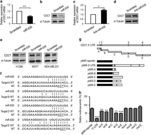 MiR-630 downregulates CDC7 expression by targeting CDC7 3'-UTR. A549 cells were transfected with miR-630 mimic or an inhibitor (50 nM) for 48 h. (a) RT-qPCR for CDC7 mRNA downregulation by miR-630. CDC7 mRNA was quantified by the 2−ΔΔCt method, in which glyceraldehyde 3-phosphate dehydrogenase (GAPDH) was used as an internal control. The scrambled small interfering RNA (siRNA) was used as a negative control, under which condition the level of CDC7 mRNA was normalized to '1'. Data are presented as mean±S.D. (n=3). (b) Western blotting for CDC7 protein downregulation by miR-630. α-Tubulin was used as a loading control. (c) RT-qPCR and (d) western blotting for effects of miR-630 inhibitor on CDC7 mRNA and protein expression. Anti-scrambled siRNA was used as a control. Data are presented as mean±S.D. (n=3). (e) Western blotting for CDC7 protein in H1299, MCF7 and MDA-MB-231 cells transfected with miR-630 mimic for 48 h. (f) The predicted miR-630-binding sequences or mutated versions of CDC7 3'-UTR fragments 'A', 'B', 'D' and 'E' in (g). WT, wild type; MT, mutant (mutated bases are underlined). (g) Interpretation of luciferase reporter plasmids containing full-length CDC7 3'-UTR, fragments 'A' to 'E' or mutants (upper panel). The full-length 3'-UTR, truncates 'A' to 'E' and mutants in (f) were inserted into the pMIR-Report plasmid to generate pMIR-Report-PmiR-3'-UTR and its variations. '1' to '4' indicates the miR-630 binding sites. (h) Relative luciferase activities of the reporter plasmids in A549 cells. Data are presented as mean±S.D. (n=3). *P<0.05, **P<0.01 and ***P<0.001