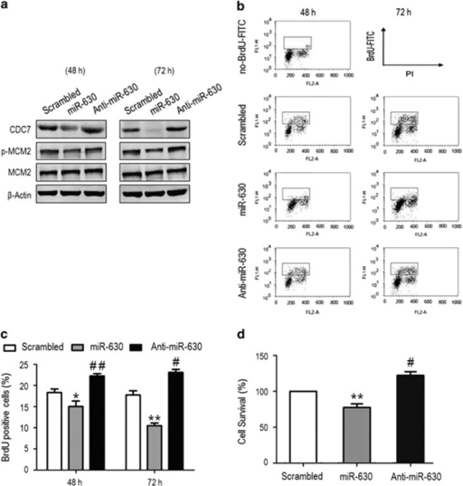 MiR-630 inhibits cell proliferation by inhibiting CDC7-mediated DNA synthesis. A549 cells were transfected with scrambled small interfering RNA (siRNA) (control), miR-630 mimic and miR-630 inhibitor for 48 and 72 h. (a) Western blotting for CDC7, MCM2 and phospho-MCM2. β-Actin was used as a loading control. (b) Flow cytometric analysis of BrdU-positive cells. After 48 and 72 h transfection, cells were labeled with 50 μM BrdU for 1 h before collection. Samples were stained with anti-BrdU FITC antibody and PI, and analyzed by flow cytometry. BrdU-positive cells were included in the gate region. (c) Relative amount of BrdU-positive cells in the gate region compared with total cells in (b) experiments. Data are presented as mean±S.D. (n=3); 48 h: *P=0.0396, ##P=0.0054; 72 h: **P=0.0037, #P=0.0171. (d) MTS assay showed the survival of A549 cells transfected with miR-630 mimic or inhibitor for 48 h. Data are presented as mean±S.D. (n=3); **P=0.0026 and #P=0.0223