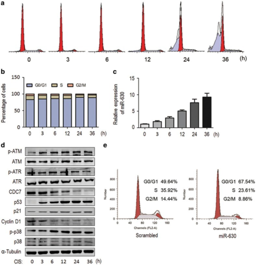 Induction of miR-630 is associated with CIS-induced G1 arrest. A549 cells were synchronized at G0/G1 phase by serum starvation for 48 h, re-feeding with 20% FBS and treated with CIS for 0, 3, 6, 12, 24 and 36 h, respectively. (a) A representative of flow cytometry showing CIS induced G1 arrest. (b) Histograms showing the populations of the cell-cycle in (a) experiments. Cells (2 × l05) were fixed and stained with PI, and analyzed by FACScan. Data present mean from two independent experiments. (c) The expression of miR-630 in (a) experiments. MiR-630 was determined by RT-qPCR and U6 was used as internal control. Data present mean±S.D. (n=3). (d) Western blotting for ATM/p-ATM, ATR/p-ATR, CDC7, p53, p21, cyclin D1, p38/p-p38 in (a) experiments. α-Tubulin as loading control. (e) G1 arrest in miR-630 mimic-transfected A549 cells. Cells were transfected with miR-630 mimic (scrambled small interfering RNA (siRNA) as control) for 48 h, followed by analysis of the cell-cycle (for CDC7 and p-p38 expression see Figure 5b, right panel)