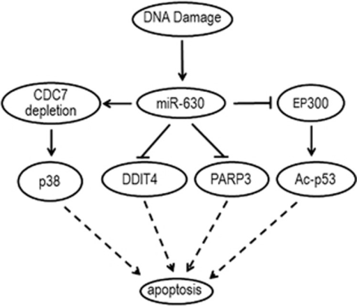 Schematic diagram showing multiple target roles of miR-630 in regulating apoptosis under DNA damage stress. MiR-630 promotes apoptosis by suppressing CDC7 expression and reduces apoptosis by direct and indirect suppressing apoptotic regulators DDIT4, PARP3, EP300 and p53