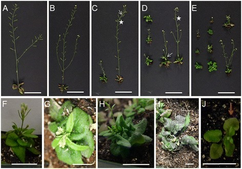 35S:NTAP:AtCTF7∆B plant morphology changes in later generations. (A) Wild type Columbia plant. (B-E) Morphological alterations get progressively worse in 35S:NTAP:AtCTF7∆B plants through self-pollination. (B) Second generation plants are normal, but reduced fertile. (C) Both dwarf and non-dwarf, reduced fertile plants are observed in third generation plants. (D) Fourth generation plants. (E) Sixth generation plants, showing a higher frequency of dwarf plants. Defects such as reduced apical dominance (arrow) and phyllotaxis disturbances (asterisks) are observed. (F-I) Representative 35S:NTAP:AtCTF7∆B dwarf plants. Inflorescence defects include acaulescent (G), multiple inflorescence branches at the first node (H) and no inflorescence (I). Leave defects include aberrant rosette size and shape (F, H and I). (J)atctf7-1 plant showing an early senescence phenotype (arrow). Plants B to I are from Line 11. All plants are grown under the same conditions. Plants in A-H and J are approximately 30 days old; plant in I is 40 days old. Scale bar = 5 cm in A-E and 2 cm in F-J.