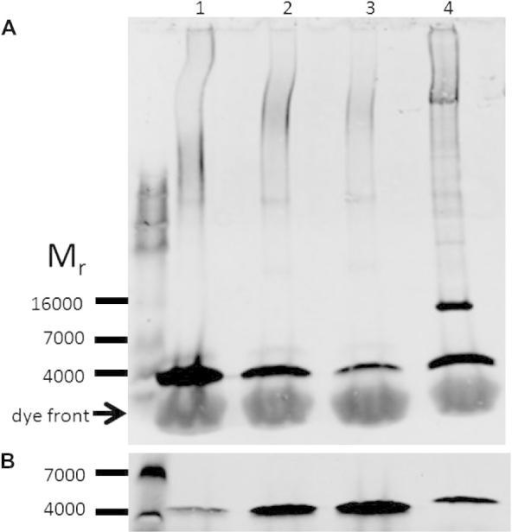 (A) Characterisation of sarcolipin levels in mouse atria and rabbit skeletal muscle by semi-quantitative western blotting. 30 μg (protein) of homogenised pooled left and right atrial tissue from 8 to 10 week old FVBN mice was separated by SDS–PAGE (lane 4) and synthetic sarcolipin, 20, 5.0 and 2.5 ng of peptide were included as standards (lanes 1, 2 and 3 respectively). Following the transfer of the proteins from the gel to PVDF membranes the blots were probed with anti-sarcolipin antibody, followed by a goat anti-rabbit fluorophore conjugated antibody. (B) SR, 1 μg, from a 3 kg New Zealand white rabbit was separated by SDS–PAGE (lane 4) and synthetic sarcolipin, 20, 40 and 60 ng (lanes 1–3). The blots were visualised and analysed using the LI-COR ODYSSEY detection system. Blots shown are typical of at least two determinations.