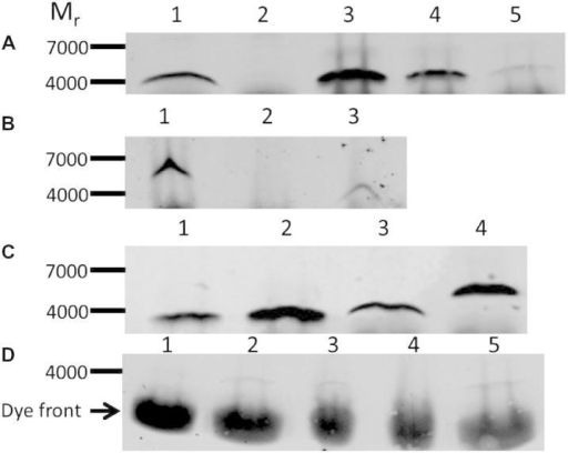 Expression of sarcolipin and FLAG-tagged sarcolipin in the skeletal muscle of transgenic and control mice detected by western blotting. (A) 40 μg (protein) of sarcoplasmic reticulum from sarcolipin+/+ transgenic mice and FVBN control mice (from total limb skeletal muscle) were separated by SDS–PAGE (lanes 1 and 2, respectively). Synthetic sarcolipin, 10, 5 and 1 ng of peptide were included as standards (lanes 3, 4 and 5, respectively). (B) 100 μg of homogenised total limb skeletal muscle from FLAG-tagged sarcolipin+/+, C57BL/6 and sarcolipin+/+ mice were separated by SDS–PAGE (lanes 1, 2 and 3, respectively). (C) 40 μg (protein) of sarcoplasmic reticulum from sarcolipin+/+ and FLAG-tagged sarcolipin+/+ transgenic mice (from total limb skeletal muscle) were separated by SDS–PAGE (lanes 3 and 4, respectively). Synthetic sarcolipin, 20 and 40 ng of peptide were included as standards (lanes 1 and 2). All mice used for the analyses above were aged 8–10 weeks (D) 120 μg (protein) of homogenised soleus muscle from 30 week old FVBN mice was separated by SDS–PAGE; mice were fed on the high fat diet from week 11–30 weeks (lane 3) or a standard chow diet throughout (lane 4). Synthetic sarcolipin, 1.0, 2.0 and 3 ng of peptide were included as standards (lanes 1, 2 and 5, respectively). In all cases, following the transfer of the proteins from the gel to PVDF membranes the blots were probed with anti-sarcolipin antibody, followed by a goat anti-rabbit fluorophore conjugated antibody. The blots were visualised and analysed using the LI-COR ODYSSEY detection system. Blots shown are typical of at least two determinations.