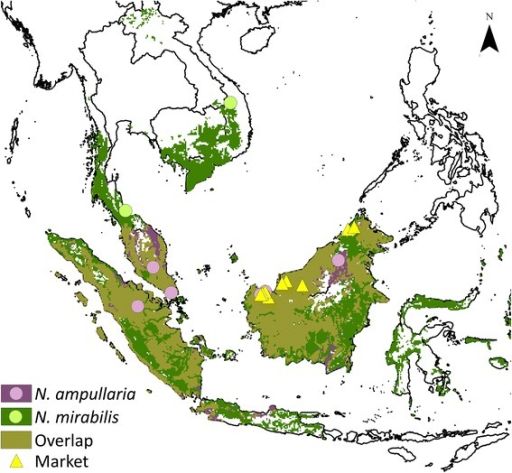Glutinous rice snack localities and predicted distribution of pitcher plant species used in its preparation. Modeled distribution of the two most widely prepared species of pitcher plants, Nepenthes ampullaria and Nepenthes mirabilis, based on verified herbarium specimen localities. Beige shading indicates co-occurrence of species. Yellow triangles indicate visited marketplaces. Circles denote areas where the consumption or sale of the glutinous rice snack was identified through social media.
