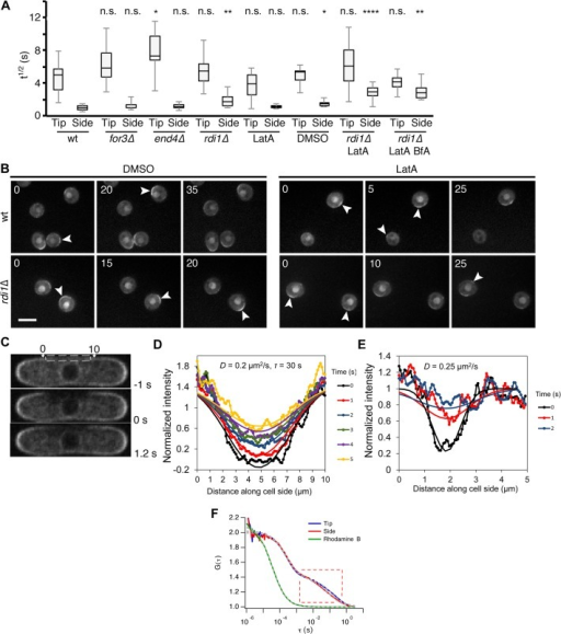 Cdc42 dynamics at the plasma membrane are largely independent of GDI or vesicle trafficking and strongly diffusive.(A) FRAP halftimes (t1/2) of Cdc42-mCherrySW recovery for indicated mutants and drug treatments. n ≥ 12 for wt, rdi1Δ, and rdi1Δ LatA. n ≥ 7 for all others. The asterisks indicate statistically significant differences between mutant tip or side versus wild-type tip or side, respectively, in a Student's t test in which n.s. = p > 0.05, * is p ≤ 0.05, ** is p ≤ 0.01, *** is p ≤ 0.001, and **** is p ≤ 0.0001. (B) CRIB-3GFP in wt and rdi1Δ spores on rich YE media with either DMSO or LatA. Arrowheads indicate zones of active Cdc42. Time is shown in minutes. Scale bar = 5μm. (C) Cdc42-mCherrySW images at indicated time points relative to large cortical side bleach (dashed box). (D) Intensity profile along cell side versus time for cell in panel C. The intensity along the membrane was measured by fitting an active contour to the cell boundary and integrating the intensity within 3 pixels. Continuous lines show fit to a model of recovery with diffusion coefficient D and uniform cytoplasmic exchange with time constant τ (see Materials and Methods). (E) Same as panel D but for a smaller bleached region (0.9 μm) exhibiting faster recovery. This difference indicates that the recovery of the smaller bleached region is dominated by diffusion. (F) Normalized fluorescence correlation spectroscopy (FCS) autocorrelation curves of calibration dye Rhodamine B (green) and of Cdc42-mCherrySW at side (red) and tip locations (blue). The curve showing a slow diffusion component corresponds to the membrane-inserted prenylated species (see S5G Fig). Data were collected from a pool of eight cells and the curves were fitted with a two-component diffusion model (grey dashed lines).