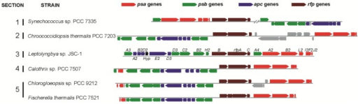Gene clusters similar to the 21-gene cluster in Leptolyngbya JSC-1 occur in five other cyanobacteria that belong to all five sections of the phylum Cyanobacteria. Color-coding for genes: psa genes for core subunits of PS I (red); psb genes for core subunits of PS II (green); apc genes for core subunits of the PBS (blue); rfp genes for the knotless phytochrome (RfpA) and response regulators RfpB and RfpC (brown); and conserved hypothetical protein (Hyp, black). All other genes unrelated to photosynthesis are shown in gray. Locus designations are shown for the genes from Leptolyngbya JSC-1. The rfpA gene in Fischerella thermalis is divided into two open reading frames because of sequencing or assembly errors.