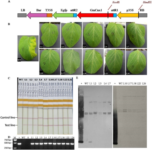 Recombination expression vector of pB7FWG2-GmCnx1 and determination of GmCnx1 transgenic soybean plants.(A) Vector contained selective maker gene (bar) coded phosphinothricin acetyltransferase (PAT) and showed resistance to the herbicide phosphinothricin, green fluorescent protein gene (Egfp) and GmCnx1 gene. LB, left border; RB, right border; p35s, promoter; T35S, terminator. (B) T1 transgenic lines were confirmed by coating leaves with Phosphinothricin. (C)T1 transgenic lines were confirmed by bar protein quick dip strip. (D) T1 transgenic lines were confirmed by PCR. (E) Southern blot analysis of transgene copy number in T1 transgenic soybean and WT. Genomic DNA and plasmid DNA was digested with restriction enzyme EcoR Iand HindⅢ. The probe was used for GmCnx1. M, DL2000 marker; +, positive control (plasmid DNA); WT, negative control, non-transgenic plants; 0, blank. L1, L2, L3, L4, L7, L10, L17, L18, L22 and L26 represent the GmCnx1 transgenic line numbers.