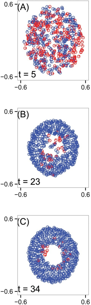 Simulation snapshots of the D'Orsogna model (11).Circles indicate positions of the N = 500 particles in an unbounded plane, line segments represent heading, and blue (red) agents are traveling (counter)clockwise. Over time, the group develops a hollow core and a double-mill structure in which a majority of agents travel clockwise, but a minority persists in the counterclockwise orientation. (A) Time t = 5. (B) Time t = 23. (C) Time t = 34. The other model parameters used in this simulation are α = 1.5, β = 0.5, Cr = 1, Lr = 0.5, Ca = 0.5, La = 2.