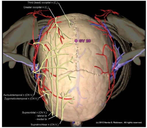 "GV 20, known as Bai Hui or ""Hundred Convergences"" is located at near the vertex of the skull. The term ""Hundred Convergences"" connotes the meeting place of trigeminal and upper cervical nerves at this site. (Image courtesy of Narda G. Robinson, DO, DVM, MS and Teton NewMedia. From [17])."