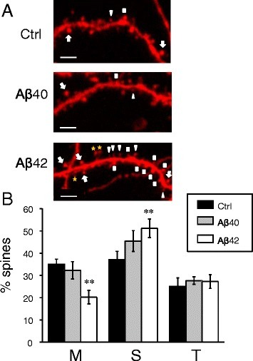 Amyloid oligomers cause loss of hippocampal mushroom spines in vitro.a Primary hippocampal neurons from WT mice were transfected with TD-Tomato and visualized by confocal imaging. Representative images are shown for cultures exposed to Aβ40, Aβ42 or vehicle (Ctrl). Scale bar corresponds to 5 μm. On the Aβ42 panel all quantified types of spines are indicated: MS with an arrow, T with a triangle, S with a square, dendritic elements that were not counted as spines are labelled with a yellow star. The mean data from four independent experiments are shown. b Average percentages of mushroom (M), stubby (S) and thin (T) spines are shown for cultures exposed to Aβ40, Aβ42 or vehicle (Ctrl). For spine quantification n = 8–10 (for each treatment per one experiment) neurons were analyzed. Values are shown as mean ± SEM. **: p < 0.005 by ANOVA one-way and post hoc tests
