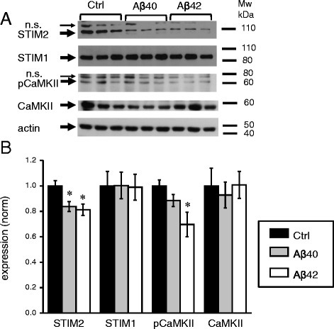 STIM2 and pCaMKII are downregulated in hippocampal cultures treated with amyloid. a The expression levels of STIM2, STIM1, pCaMKII, and CaMKII were analyzed by Western blotting of lysates from WT hippocampal cultures exposed to Aβ40, Aβ42 or vehicle (Ctrl). Actin was used as a loading control. b Quantification of STIM2, STIM1, pCaMKII and CaMKII expression levels in WT cultures exposed to Aβ40, Aβ42 or vehicle (Ctrl) (normalized to actin levels). Graph represents the data from three independent experiments. Values are shown as mean ± SEM. *: p < 0.05 by ANOVA one-way and post hoc tests, n.s. (non specific)