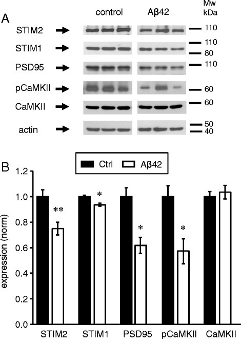 STIM2, PSD95 and pCaMKII are downregulated in mice injected with Aβ42. a The expression levels of STIM2, STIM1, PSD95, pCaMKII, CaMKII were analyzed by Western blotting of hippocampal lysates taken from wild type mice injected with Aβ42 and from the control mice. Each band on WB panel represents one mice. Actin was used as a loading control. b Expression of STIM2, STIM1, PSD95, pCaMKII, and CaMKII proteins was normalized to actin. Values are shown as mean ± SEM for control mice and the mice injected with Aβ42. *: p < 0.05, **: p < 0.005 by t-test