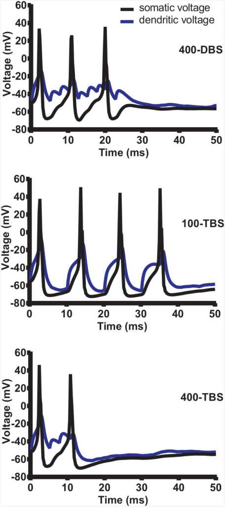 Postsynaptic membrane voltage during one train of HFS.Simulated voltage traces showing the depolarization and action potentials evoked by 400-DBS (top panel), 100-TBS (middle panel) and 400-TBS (bottom panel) and measured at the soma (black trace) and the dendrite (blue trace). The dendritic voltage was recorded in the middle of the dendritic region targeted by medial path synapses. Note the faithfulness of cell firing for each TBS pulse for the 100-TBS protocol. In simulations of LTP and LTD, the postsynaptic threshold for STDP was set to -37 mV so that STDP could be exhibited by even the most distal of synapses on the dendritic tree.