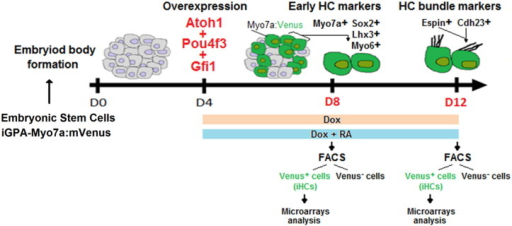 Schematic representation of the HC programming strategy used to generate and purify iHCs in vitro at an early (day 8) and later stage (day 12) of their development. FACS, fluorescence activated cell sorting.