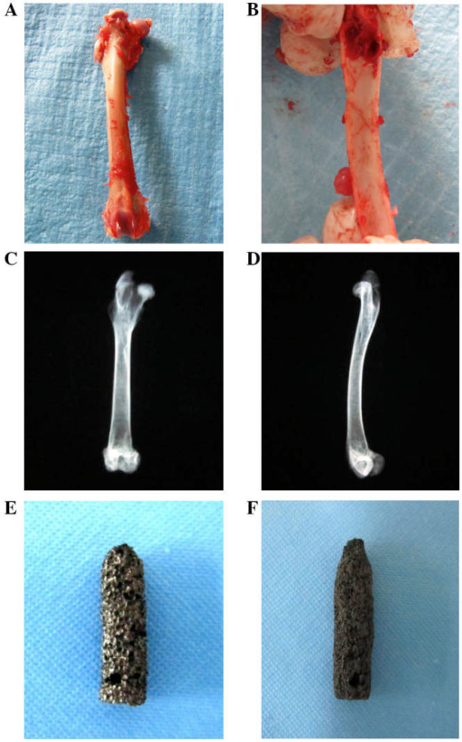 Design of the prostheses was based on the morphology, the inner diameter of the femur, and the X-ray observation. (A) The whole-length of the femur was exposed so that the morphology could be observed to inform the design of the prostheses. (B) The upper part of the femur was transected to observe the medullary cavity and measure the inner diameter. (C and D) Anteroposterior and lateral X-rays were obtained for the whole-length femur. The prostheses with (E) 70 and (F) 40% porosity were made as cylindrically shaped in the body with a diameter of 7 mm and a height of 25 mm, and its distal end turned out to be cone-shaped. A hole with a diameter of 1.5 mm was designed on the top part of the specimen so as to be prepared for the pulling-out test.