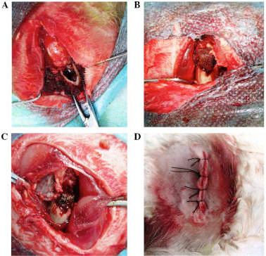 Surgeries were performed for the specimen implantation. (A) The proximal part of the femur was transected, and the medullary cavity was exposed. Prostheses of (B) 40 and (C) 70% porosity were implanted into the femur. (D) The wound postoperatively.