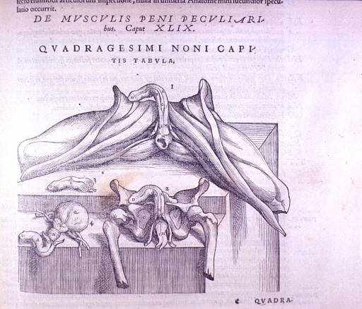 <p>Vignette of a section of the vertebrae with ligaments (shown from below?)</p>