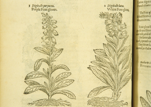 <p>Separate woodcuts of two varieties of foxglove, showing the flowers, stalks, leaves, and roots.</p>