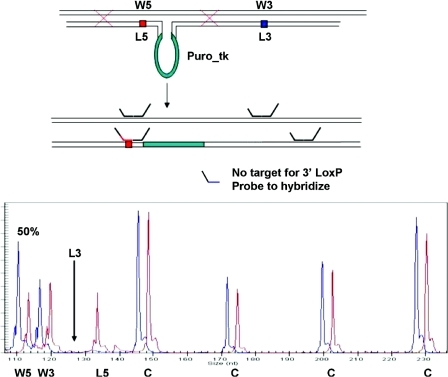 Gene inactivation by homologous recombination dna