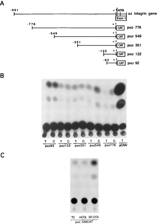 Effect of 5′ deletion on the expression of integrin α2-CAT fusion gene induced by 3D COL. (A) The 5′ flanking region  of integrin α2 gene fused to the CAT structural gene. These constructs were deletion mutants derived from a pα2961-CAT (Zutter  et al., 1994). (B) Fibroblasts were cotransfected with the 5′ deletion mutant-CAT and RSV–β-galactosidase fusion genes followed by subculture in 3D COL as described in the Materials and  Methods. (C) Fibroblasts were cotransfected with pα2549-CAT  and RSV–β-galactosidase fusion genes followed by subculture on  tissue culture plastic plates (TC), collagen-coated surface (mCOL),  and 3D COL. Cells were harvested 1 d after subculture and cell  extracts were assayed for CAT activity. The results represent at  least five independent experiments. RSV–β-galactosidase activity  was used as a control. pCMV, cytomegalovirus promoter-CAT  construct.