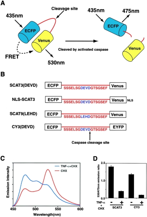 An improved indicator for activated caspases: SCAT. (A) Schematic representation of SCAT. (B) Linker sequences of the SCAT family of indicators. (C) Spectral analysis of SCAT3 in cells exposed to TNF-α/CHX. HeLa cells in 100-mm dishes were transfected with 6 μg pcDNA-SCAT3. 18 h after transfection, the cells were exposed to CHX or TNF-α/CHX and incubated for 6 h. The cell suspensions were then subjected to spectral analysis. (D) Changes in the emission ratio (530/475 nm) of SCAT3 compared with CY3 in cells treated with TNF-α/CHX. The cell suspensions were prepared as described above. The 530/475-nm emission ratio was measured with an excitation wavelength at 435 nm. The data represent results from three independent experiments. Error bars indicate SD.