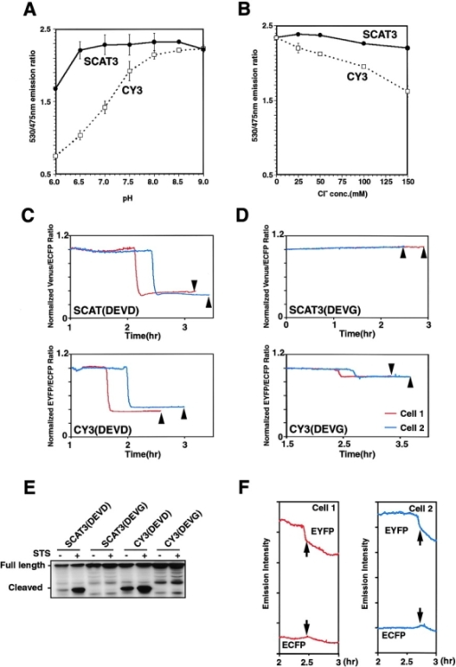 Properties of SCAT3 and CY3. pH resistance (A) and Cl− resistance (B) of SCAT3 compared with CY3. HeLa cells transfected with pcDNA-SCAT3 or pCFP-DEVD-YFP were lysed with 0.5% Triton X-100–containing buffer. The 530/475-nm emission ratio was determined with a 435-nm excitation wavelength. The data represent results from three independent experiments. Error bars indicate SD. (C and D) The stability of SCAT compared with CY3 in living single cells. The imaging analysis was started on exposing HeLa cells to 1 μM STS at 18 h after transfection. To compare SCAT3 and CY3, the emission ratio was normalized by defining the baseline ratio before the FRET disruption as 1. Arrowheads indicate the time cells first showed the early apoptotic cell death morphology, including membrane blebbing and cell shrinkage. (E) Western blot analysis of SCAT3- or CY3-expressing HeLa cells exposed by STS. (F) The emission intensity profiles of EYFP and ECFP in CY3 (DEVG)-expressing HeLa cells. Cells 1 and 2 are the same as those shown in D. Arrows indicate the time of the emission ratio decrease in CY3 (DEVG) in D.