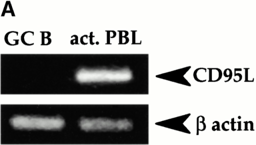 GC B cells do not produce CD95L. (A) RT and PCR amplification of the CD95L and β-actin transcripts were performed on RNA extracts from freshly isolated GC B cells and from PBLs which had been successively stimulated for 72 h with PHA (5 μg/ml) and 6 h with PMA (10 ng/ml) and ionomycin (0.5 μg/ml) (act. PBL). (B–D) Freshly isolated GC B cells were cultured in complete medium (CM) in the presence or absence of the antagonistic anti-CD95 mAb ZB4 (1 μg/ml). GC B cells were assessed after 1, 2, 3, and 4 h of culture for their mitochondrial transmembrane potential (B), externalization of PS (C), and activation of caspase-3 (D) using a PE-conjugated anti-active caspase-3 Ab. The results are expressed as means of the (B) percent viable cells, (C) annexin V+ cells, and (D) cells with activated caspase-3, calculated from duplicate determinations. The difference between duplicate measurements never exceeded 10% of the mean values. Representative of three distinct experiments.