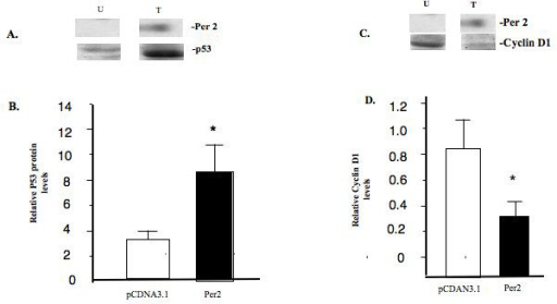 PER 2 expression increases P53 but decreases cyclin D1 expression in MCF-7 cells. (A) MCF-7 cells were transiently transfected with and empty vector (pcDNA 3.1) [U] or vector expressing PER 2 [T]. After 48 hours, total cell extracts were prepared and subjected to Western blot analysis using an antibodies directed against the P53 and PER 2 proteins. (B) Densitometric analysis of P53 protein expression. * p < 0.05. (C) Western blot analysis using an antibodies directed against the cyclin D1(cD1) and PER 2 proteins. (D) Densitometric analysis of cD1 protein expression. * p < 0.05.