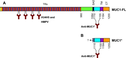 Schematic and antibody recognition of full-length MUC1 versus the membrane-bound cleavage product MUC1*.A. Full-length MUC1 protein (MUC1-FL) is comprised of a cytoplasmic tail (CT), a transmembrane domain (TM), a self-aggregation domain (SAD), and hundreds of tandem repeats (TRs). B. Cleavage product, MUC1*, consists of the cytoplasmic tail, transmembrane domain, and at least 45 amino acids of the extracellular domain (ECD). Although the exact site(s) of cleavage remain somewhat uncertain, to our knowledge, no cleavage sites have been reported that leave less than a 45 amino acid ECD. Binding sites for antibodies VU4H5 and Anti-MUC1* are marked.