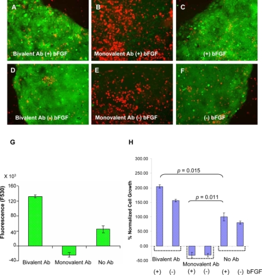 MUC1* mediates growth of pluripotent human embryonic stem cells.Undifferentiated H9 hESCs were grown for 41 hours in the presence of bivalent Anti-MUC1* (Bivalent Ab), which can dimerize the receptor, the monovalent Fab of Anti-MUC1* (Monovalent Ab), that blocks receptor dimerization, and/or basic fibroblast growth factor (bFGF). The results were quantified as follows. A–F. A live/dead (green/red) calcein assay was performed 41 hours post treatment. Photos record the results. A. Treatment with bivalent Anti-MUC1* (Bivalent Ab) and bFGF produced mostly viable cells (green) and very few dead cells (red). B. Treatment with the monovalent Fab of Anti-MUC1* (Monovalent Ab) and bFGF resulted in essentially total cell death within 12 hours. C. Treatment with bFGF alone produced mostly viable cells. D. Treatment with bivalent Anti-MUC1* alone produced more viable cells than with the addition of bFGF. E. Treatment with monovalent Anti-MUC1* killed essentially all cells. F. Treatment without antibodies or bFGF resulted in more dead cells and less viable cells. G. A bar graph shows that after 41 hours of treatment with Anti-MUC1* (Bivalent Antibody) there were more than 2-times the number of live cells than without the antibody (No Ab). Treatment with the monovalent Fab (Monovalent Ab) killed all the cells. Fluorescence of live cells in a calcein assay is plotted. Data are represented as mean fluorescence units±SEM. H. The percentage hESC growth is plotted for undifferentiated cells grown in the presence or absence of bFGF and with bivalent or monovalent Anti-MUC1* (Bivalent Ab, Monovalent Ab). Student's two-tailed test was used for statistical analysis. The graph shows that Anti-MUC1* with or without bFGF stimulated growth roughly twice as well as with bFGF.