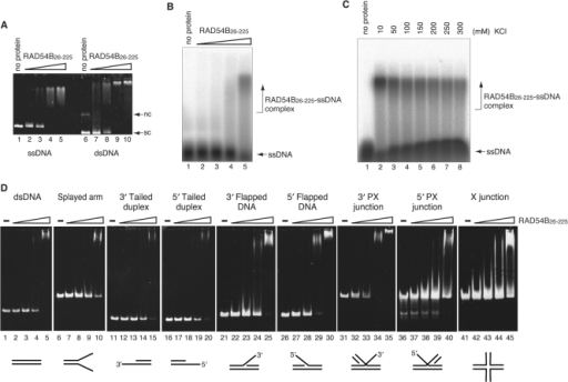 DNA-binding activity of RAD54B26–225. (A) Plasmid ssDNA (20 μM in nucleotides, lanes 1–5) or plasmid superhelical dsDNA (10 μM in nucleotides, lanes 6–10) was incubated with RAD54B26–225 at 37°C for 20 min. The concentrations of Rad54B26–225 used in the DNA-binding experiments were 2.0 μM (lanes 2 and 7), 4.0 μM (lanes 3 and 8), 8.0 μM (lanes 4 and 9) and 16 μM (lanes 5 and 10). The reaction mixtures were fractionated on a 1% agarose gel, which was stained with ethidium bromide. Nc and sc indicate nicked circular and superhelical dsDNA, respectively. (B) A 32P labeled single-stranded oligonucleotide (polyA 44-mer, 0.2 μM in molecules) was incubated with RAD54B26–225 (2, 4, 8 or 16 μM) at 37°C for 10 min and the reaction mixtures were fractionated on a 1% agarose gel. (C) Salt concentration titration for the RAD54B26–225–polyA complex. RAD54B26–225 (16 μM) was incubated with a 32P labeled single-stranded oligonucleotide (polyA 44-mer, 0.2 μM in molecules) in the reaction mixture containing the indicated concentrations of KCl. The reaction mixtures were fractionated on a 1% agarose gel. (D) Various branched DNA substrates (0.2 μM in molecules) were incubated with RAD54B26–225 (2, 4, 8 or 16 μM) at 37°C for 20 min, and the reaction mixtures were fractionated on a 5% polyacrylamide gel, which was stained with ethidium bromide.