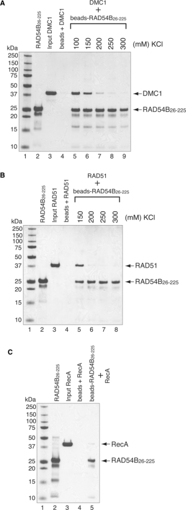 RAD54B26–225 interacts with RAD51 and DMC1. The interactions were observed by a pull-down assay, in which DMC1 (A) or RAD51 (B) was mixed with RAD54B26–225 that was covalently conjugated to an Affi-Gel 15 matrix. The proteins bound to the RAD54B26–225-conjugated beads were eluted by SDS–PAGE sample buffer, and fractionated on a 12% SDS–PAGE gel. Lanes 2 and 3 are one-tenth of the total proteins used. Lane 4 is the negative control using the Affi-Gel 15 matrix without RAD54B26–225. The salt concentration was titrated for both binding experiments, which are shown beyond lane 5. (C) Interaction between bacterial RecA and RAD54B26–225. The binding experiment was performed in the presence of 100 mM KCl. The bands were visualized by Coomassie Brilliant Blue staining.