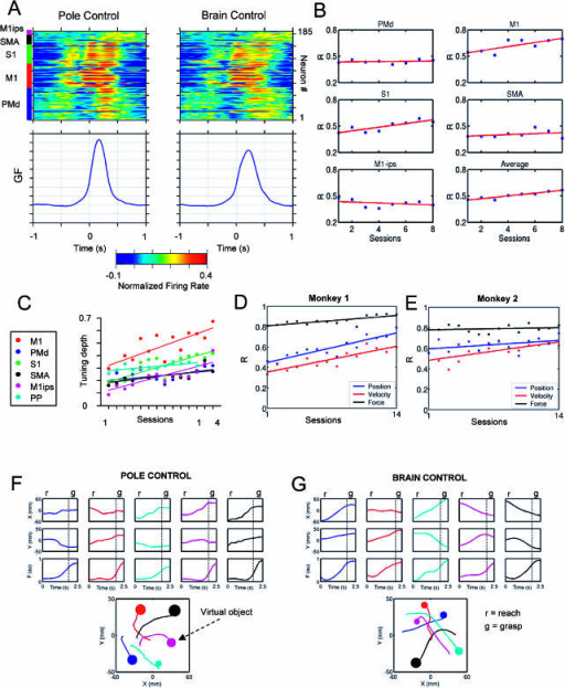Ensemble Encoding of Gripping Force, Plasticity of Directional Tuning, and Neuronal Contribution to Model Performance during Learning to Control the BMIc for Reaching and Grasping(A) Perievent time histograms (PETHs) in task 2 for the neuronal population sampled in monkey 1. The plots on top are color-coded (red shows high values; blue, low values). Each horizontal row represents a PETH for a single-neuron or multiunit activity. PETHs have been normalized by subtracting the mean and then dividing by the standard deviation. PETHs are aligned on the gripping force onset (crossing a threshold). Plots at the bottom show the corresponding average traces of gripping force. Note the general similarity of PETHs in pole (left) and brain (right) control in this relatively easy task. Cortical location of neurons is indicated by the bar on the top left. Note the distinct pattern of activation for different areas.(B) Changes in the mean contribution of neurons from different cortical areas to model predictions during training of monkey 1 in task 2.(C) Increases in directional tuning for six cortical areas during training in pole control in task 3.(D and E) Increases in neuronal contribution to linear models predicting hand position (blue), hand velocity (red), and gripping force (black) during learning task 3 in both monkeys.(F and G) Representative robot trajectories and gripping force profiles in an advanced stage of training in task 3 during both pole and brain control. The bottom graphs show trajectories and the amount of the gripping force developed during grasping each virtual object. The dotted vertical lines in the panels indicate the end of reach phase and the beginning of grasp phase. Note that during both modes of BMIc operation, the patterns of reaching and grasping movements (displacement followed by force increase) were preserved.