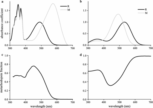 Spectral properties of insect visual pigments. a Absorbance spectra of the two thermostable states, rhodopsin (R490) and metarhodopsin (M575), of the main visual pigment of the blowfly C. vicina; the fine-structured absorbance in the ultraviolet is due to 3-hydroxy-retinol, which sensitizes the visual pigment molecule, both in the rhodopsin and in the metarhodopsin state. b Absorbance spectra of the rhodopsin (R532) and metarhodopsin (M492) of a typical green-sensitive visual pigment. c, d The metarhodopsin fraction in photoequilibrium as a function of monochromatic illumination, calculated with the spectra of a and b, using a relative quantum efficiency φ = 0.94 (blowfly) and φ = 0.71 (green visual pigment)