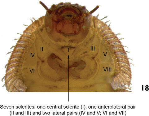 Stegoelmis sp. ventral view (detail of the prothorax).
