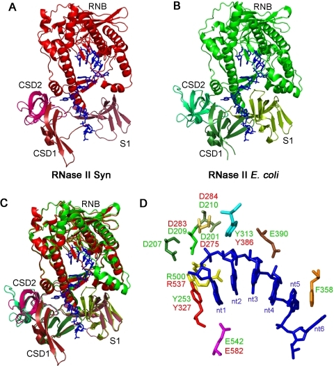 Modelling the RNase II protein from Synechocystis.(A) Representation of the predictive 3D model from Synechocystis RNase II (red) (B) and E. coli RNase II crystal structure (green) (PDB 2IX0 and 2IX1), with the RNA molecule inside (blue). (C) Superposition of E. coli RNase II structure and Synechocystis RNase II model. (D) In the catalytic cavity, the residues important for the activity of E. coli RNase II are shown in green, while the ones from Synechocystis protein are indicated in red.