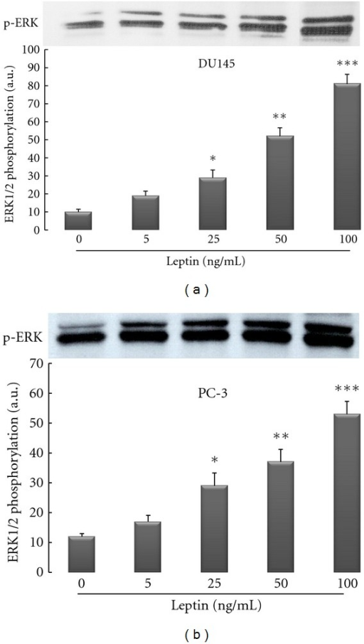 Leptin activates ERK1/2 isoforms of MAPK signaling pathway in a dose-dependent manner in androgen-resistant prostate cancer cell lines (DU145 and PC-3). Three different human prostate cancer cell lines were cultured in serum-free media for 24 hrs followed by exposure to recombinant human leptin for 1 hour. Cellular extracts were fractioned onto 12% SDS-Page and Western immunoblotting performed with a rabbit polyclonal anti-phospho-p44/42 MAPK as described in Section 2. The findings are from a single experiment representative of at least 3 similar experiments.