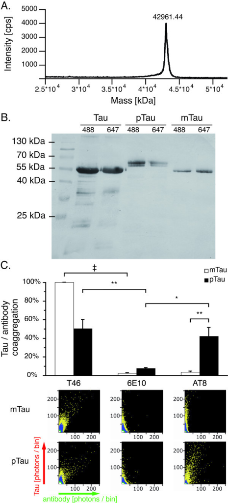 Tau phosphorylation verified by western blot and SIFT analysis.A. Mass spectroscopy showed that recombinant human tau (isoform 5, 42967 Da) is of high purity. B. While mock phosphorylation (mTau) does not influence SDS-PAGE mobility of recombinant tau, a typical band shift is observed upon tau phosphorylation (pTau). C. SIFT analysis showed labeling of pTau oligomers with the phosphorylated tau specific AT-8 antibody in presence of 1% DMSO indicating antibody binding, while no coaggregation was observed with mTau. Data was normalized against the coaggregation level of mTau with the T46 antibody, which does not require tau phosphorylation. 2D histograms depicting antibody (x-axis) and protein (y-axis) interactions show coaggregates of T46 with both pTau and mTau, while AT-8 only coaggregates with pTau. A scheme describing the appearance of mixed aggregates in 2D histograms is included in Figure 3. Upon combining AT-8 and mTau, only DMSO induced tau aggregates are visible along the y-axis, similar to the control antibody 6E10. Measurements were taken from 12 independent samples; each sample was measured four times. Levels of significance are displayed as * = p < 0.05; ** = p < 0.01; ‡ = p < 0.001.