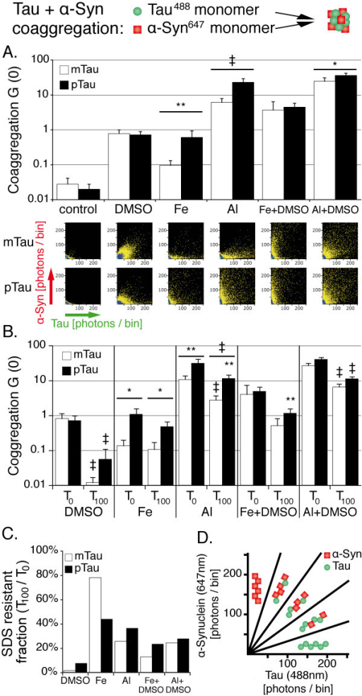 Al3+promotes stronger formation of SDS stable tau and α-syn coaggregates than Fe3+, preferably after tau phosphorylation.A. Cross-correlation amplitudes (G (0)) show mild proaggregatory activity of DMSO and Fe3+, while Al3+ promotes intense protein oligomerization. Combinations of DMSO and metal ions show a synergistic effect especially for mTau. 2D histograms show the formation of smaller oligomers induced by DMSO compared to Al3+. B. Cross-correlation amplitude before (T0) and 100 min after (T100) addition of SDS to the aggregation assay. Significant reductions of aggregation levels at T100 are indicated by the symbols over the error bars, while significant differences between pTau and mTau are indicated by the symbols over the wide bars. C. Cross correlation amplitude at T100 normalized against T0 shows increased SDS-resistance of metal ion induced oligomers compared to DMSO. D. Scheme illustrating the appearance of tau and α-syn aggregates and coaggregates of the two proteins. Higher fluorescence intensities of detected oligomers indicate increased oligomer size. Measurements were taken from 16 independent samples; each sample was measured four times. Levels of significance are displayed as * = p < 0.05; ** = p < 0.01; ‡ = p < 0.001.