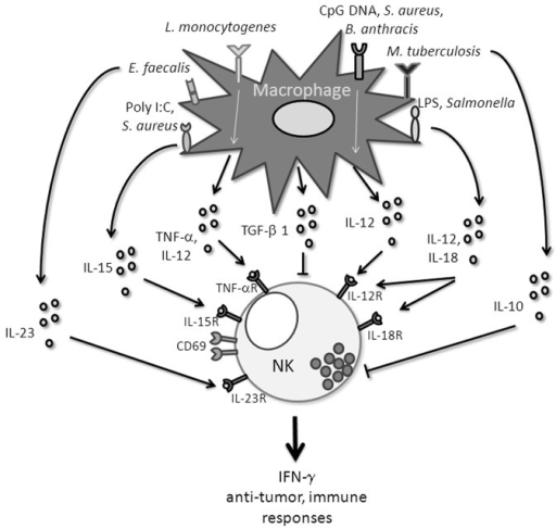 Different macrophage-derivated signals that influence NK cell functions.