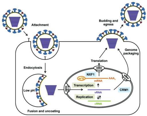 Figure 1. The replication cycle of influenza A virus. | Open-i  Figure 1. The r...