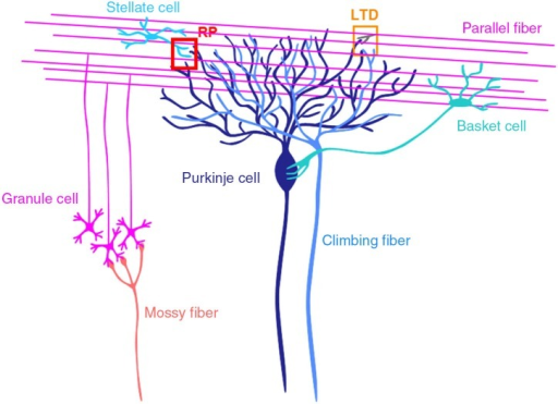 Cerebellar cortical neuronal circuits. Mossy fibers from pontine nuclei etc., send excitatory synaptic outputs to granule cells. A granule cell forms one or a few excitatory glutamatergic synapses on a Purkinje cell, where LTD occurs depending on the activity of the granule cell and a climbing fiber. Molecular layer interneurons (stellate and basket cells) receive excitatory synaptic inputs from granule cells and inhibit Purkinje cells. At inhibitory GABAergic synapses between a stellate cell and a Purkinje cell, rebound potentiation (RP) is induced by climbing fiber activity.