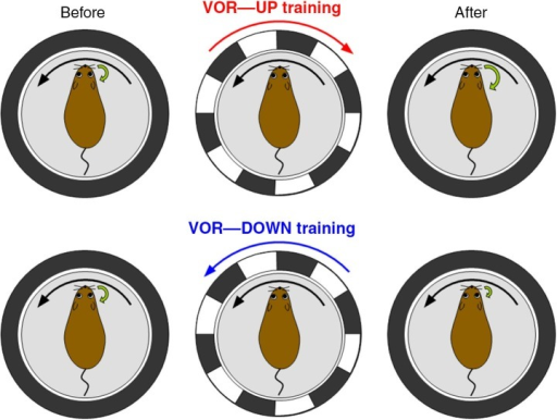 Vestibulo-ocular reflex (VOR) and its adaptation. VOR is induced by rotating a turntable on which a mouse is fixed in the dark. In VOR eyeballs turn in the opposite direction of head turn. VOR undergoes adaptive modifications. When a wild-type mouse and a surrounding screen with vertical black and white stripes are rotated in opposite directions in the light (VOR-up training), the gain of VOR increases gradually. In contrast, when the rotations are in the same direction (VOR-down training), the gain decreases.
