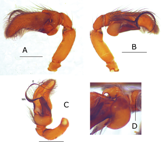Pictures of the male palp of Eustiromastix guianae. A–C male palp in lateral, retrolateral and ventral views, respectively D detail of the tibial apophysis, ventral view. MA median apophysis, E embolus. Scales: A–C 1 mm, D 0.5 mm.