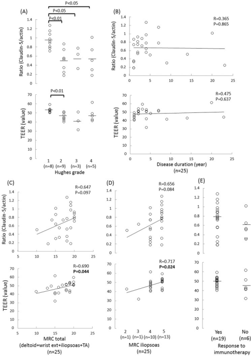 Associations between the clinical findings and BNB malfunction in the patients with CIDP.Correlations between the claudin-5 to actin protein ratios and the TEER values in the FH-BNBs following exposure to sera and the clinical parameters in the patients with CIDP. Associations between the claudin-5 to actin protein ratios and TEER values and the Hughes grade (A), duration of disease from onset (B), total Medical Research Council (MRC) scores for four muscle groups (deltoid, wrist extensor, iliopsoas, and tibialis anterior muscles) (C), MRC score for the iliopsoas muscle (D) and response to treatment, including intravenous immunoglobulin (IVIg) and corticosteroids (E). A lower ratio of claudin-5 to actin proteins was significantly associated with a higher Hughes grade, while a lower TEER value significantly correlated with a higher Hughes grade and lower MRC score.